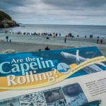 Capelin Rolling in Newfoundland